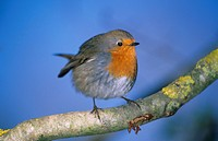 European Robin Erithacus rubecula Perched on branch _ Feathers fluffed up
