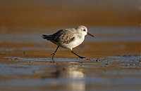 Sanderling Calidris alba adult, running along tideline, Yorkshire, England, winter