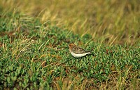 Spoon_billed Sandpiper Eurynorhynchus pygmeus adult in vegetation, Arctic Siberia, Russia