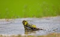 Serin Serinus serinus adult, bathing in pool, Spain