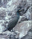 Shag Phalacrocorax aristotelis Side view _ on Bass Rock, Scotland FL001760 S