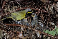 Bokmakierie Bush Shrike Telephorus zeylonus Adult at nest / feeding young