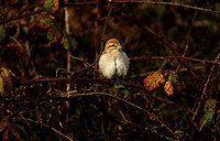 Red_backed Shrike Lanius collurio On thorny branch _ 1st winter _ Norfolk