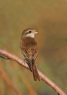 Red_backed Shrike Lanius collurio autumn immature, perched on twig, Turkey, october