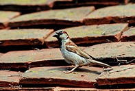 House Sparrow Passer domesticus adult male, standing on roof tiles, Sussex, England