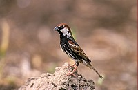 Spanish Sparrow Passer hispaniolensis adult male, perched on soil, Bulgaria