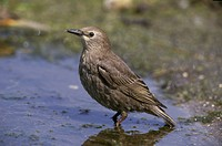 Starling Sturnus vulgaris Juvenile standing in water / Sussex