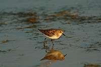 Little Stint Calidris minuta adult, walking in water, Lesvos, Greece, may