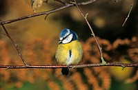 Blue Tit Parus caeruleus perched on branch, Sussex, England