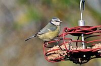 Blue Tit Parus caeruleus adult, feeding on fat ball feeder in garden, West Sussex, England, january