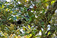 Hartlaub´s Turaco Tauraco hartlaubi adult, perched in fruiting tree, Eburru Forset, Kenya, october