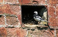 Pied Wagtail Motacilla alba Feeding young in hole in wall _ Norfolk, England _ June