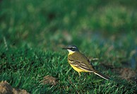 Spanish Wagtail Motacilla flava iberiae Male on grass S