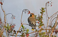 Bohemian Waxwing Bombycilla garrulus adult, feeding on guelder rose berries, Norfolk, England