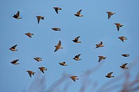Bohemian Waxwing Bombycilla garrulus flock, in flight, Sheffield, Yorkshire, England, winter