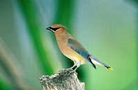 Cedar Waxwing Bombycilla cedrorum Perched on stump _ Sonora Desert, Arizona, U S A