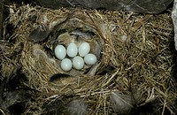 Wheatear Oenanthe oenanthe Eggs in nest box