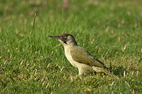 Green Woodpecker Picus viridis adult female, feeding on ground, Oxfordshire, England