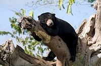 Malaysian Sun Bear Helarctos malayanus malayanus adult, resting on branch, captive