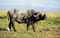 African Buffalo Syncerus caffer adult male, calling, Amboseli N P , Kenya