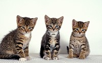 Domestic Cat, three tabby kittens