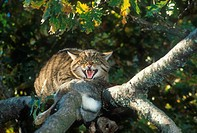 European Wild Cat Felis silvestris In tree with prey