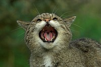 European Wild Cat Felis silvestris adult snarling, close_up of head, Britain