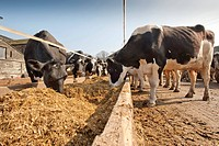 Domestic Cattle, Holstein Friesian, dairy herd, cows feeding on silage from trough, England