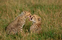 Cheetah Acinonyx jubatus Mother and cub licking each other _ Masai Mara, Kenya