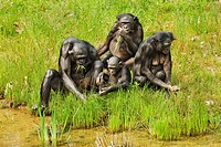 Bonobo Pan paniscus family group, adults and young, feeding on leaves at edge of water, captive