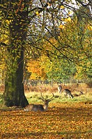 Fallow Deer Dama dama buck, resting on fallen leaves beside tree, Dunham Massey, Greater Manchester, England, autumn