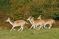 Fallow Deer Dama dama does and fawn, running, Knole Park, Kent, England, autumn