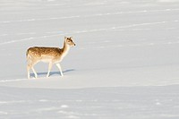 Fallow Deer Dama dama doe, walking in snow, Knole Park, Kent, England, winter