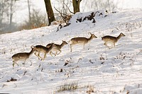 Fallow Deer Dama dama five does, running in snow, Knole Park, Kent, England, winter