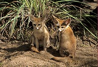 Fennec Fox Vulpes zerda two cubs, sitting