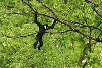 Northern White_cheeked Gibbon Nomascus leucogenys adult male, hanging from tree branch, captive