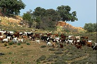 Domestic Goat, herd being moved to pasture, Cyprus