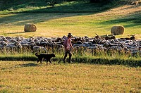 France, Alpes de Haute Provence, Luberon, transhumance between Oppedette and Le Contadour going through Banon