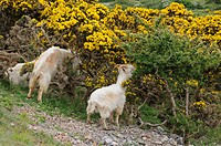 Feral Kashmir Goat Capra hircus three adults, browsing on Common Gorse Ulex europaeus bushes, Great Orme, Llandudno, North Wales, may