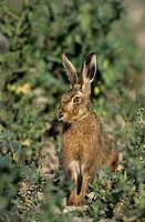 European Hare Lepus europaeus In old cereal field now managed for wildlife _ Rye Harbour Nature Reserve, East Sussex, England