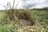 European Hare Lepus europaeus baby leverets hidden amongst grass, Norflok, England, september