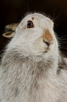 Mountain Hare Lepus timidus adult, winter coat, alert, close_up of head, Monadhliath Mountains, Highlands, Scotland, february