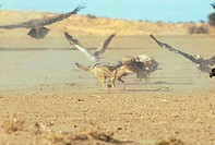 Black Backed Jackal Canis mesomelas Chasing White Backed Vultures _ Kalahari, Gemsbok NP S