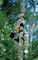 Indri Indri indri Climbing tall tree / Madagascar