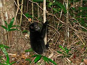 Indri Indri indri young, clinging to thin tree trunk, Madagascar