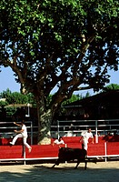 France, Bouches du Rhone, Graveson, bullring, raseteurs compete to snatch rosettes cocarde tied between the bulls´ horns