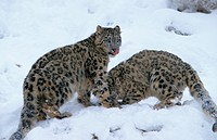 Snow Leopard Panthera uncia two in snow, one licking nose