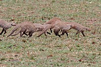 Banded Mongoose Mungos mungo adults, family group running, Masai Mara, Kenya