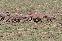 Banded Mongoose Mungos mungo adults, family group running, Masai Mara, Kenya
