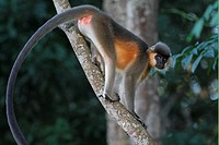 Capped Langur Trachypithecus pileatus adult female, standing on branch, Kaziranga N P , Assam, India, november
